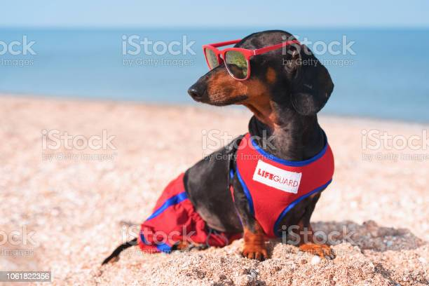 Dog dachshund breed black and tan in a red blue suit of a lifeguard picture id1061822356?b=1&k=6&m=1061822356&s=612x612&h=pjfqcpfohjunbczn37obsedskecmqaceautysj5i9 0=