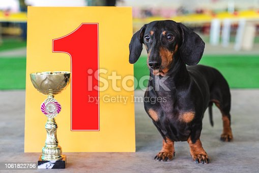 istock dog  dachshund the winner of the exhibition, stand near the gold cup and the number one sign at an exhibition of dogs 1061822756