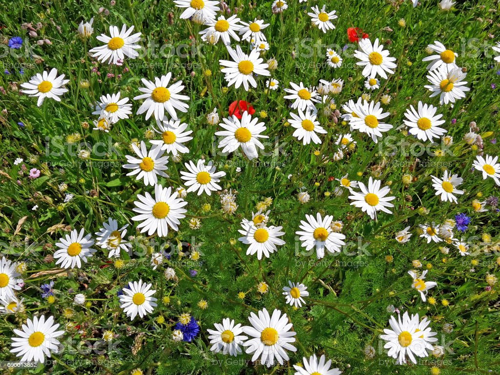 dog daisies stock photo