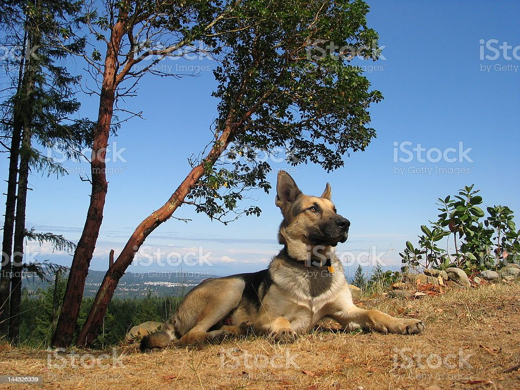 Dog Deep in Thought royalty-free stock photo