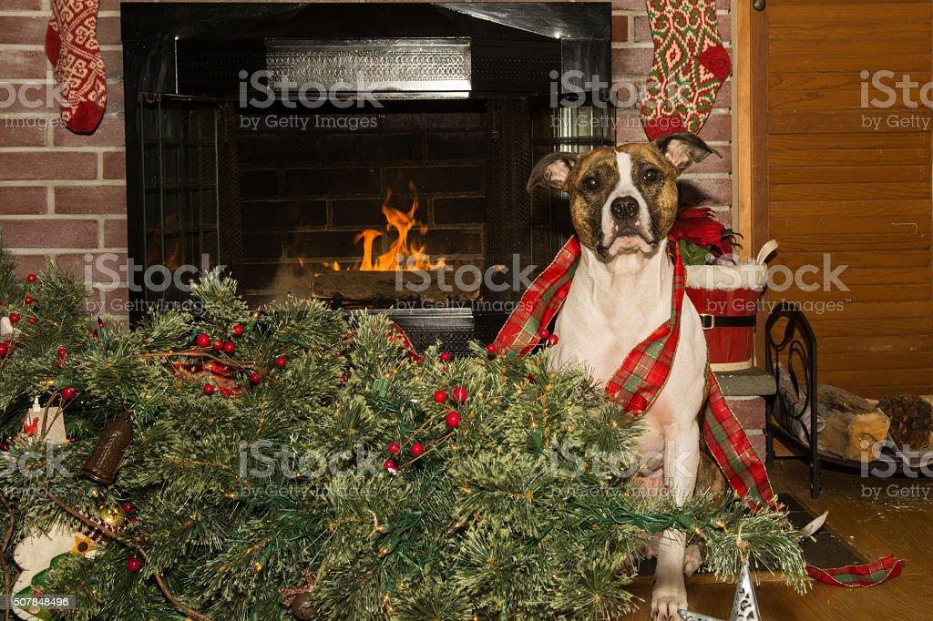 Dog Destroys Christmas stock photo