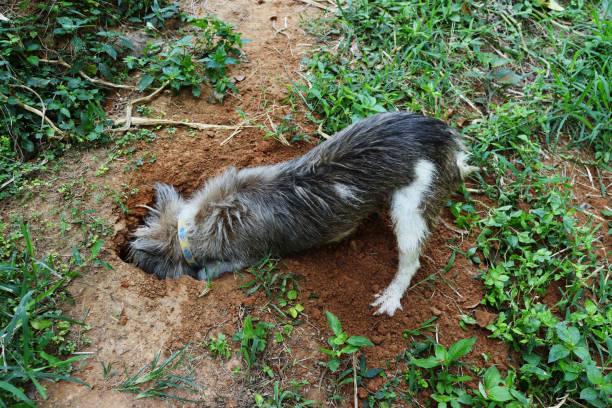 Dog digging hole on dirt land stock photo