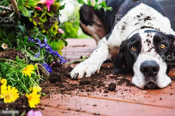 Dog digging in garden picture id655251404?b=1&k=6&m=655251404&s=612x612&h=ru64nvqfjrzc1bgeem z1e62f93ichfvwfdn gkaxfa=