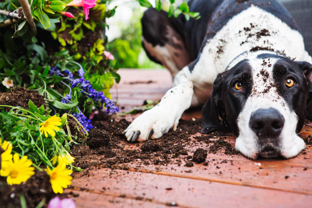 Dog digging in garden stock photo