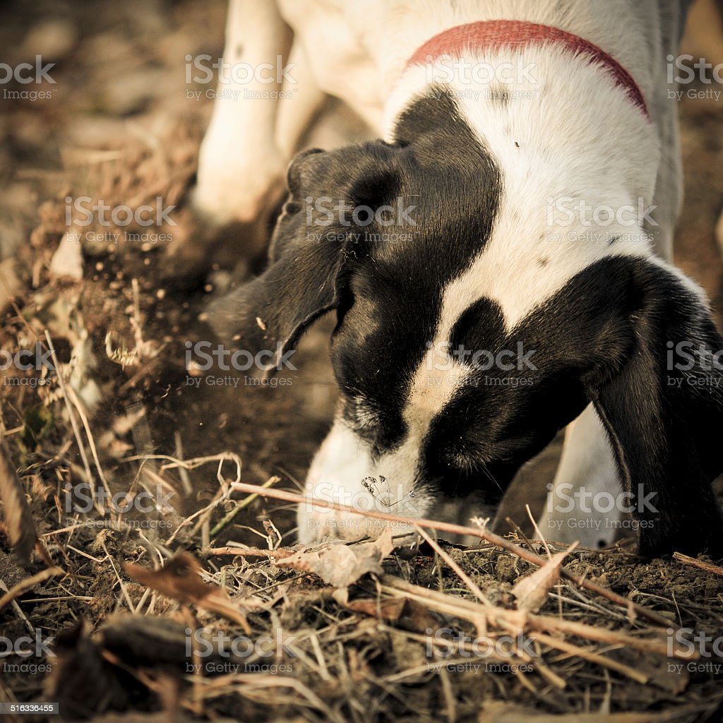 Dog digging in the ground to search truffles stock photo