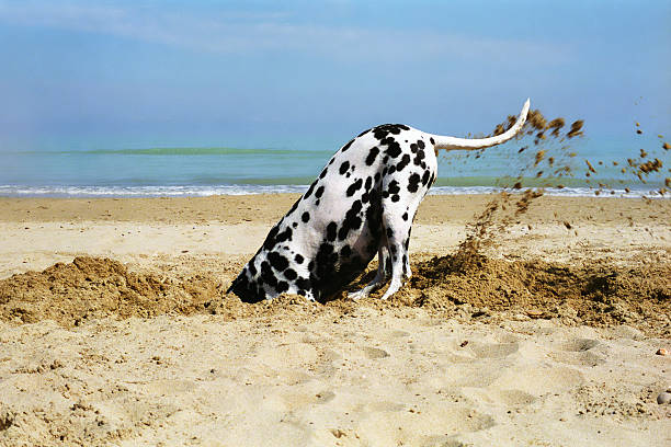 Dog Digging On The Beach - Dalmatian Beautiful dalmatian digging a hole in the sand, in a sunny day. head in the sand stock pictures, royalty-free photos & images