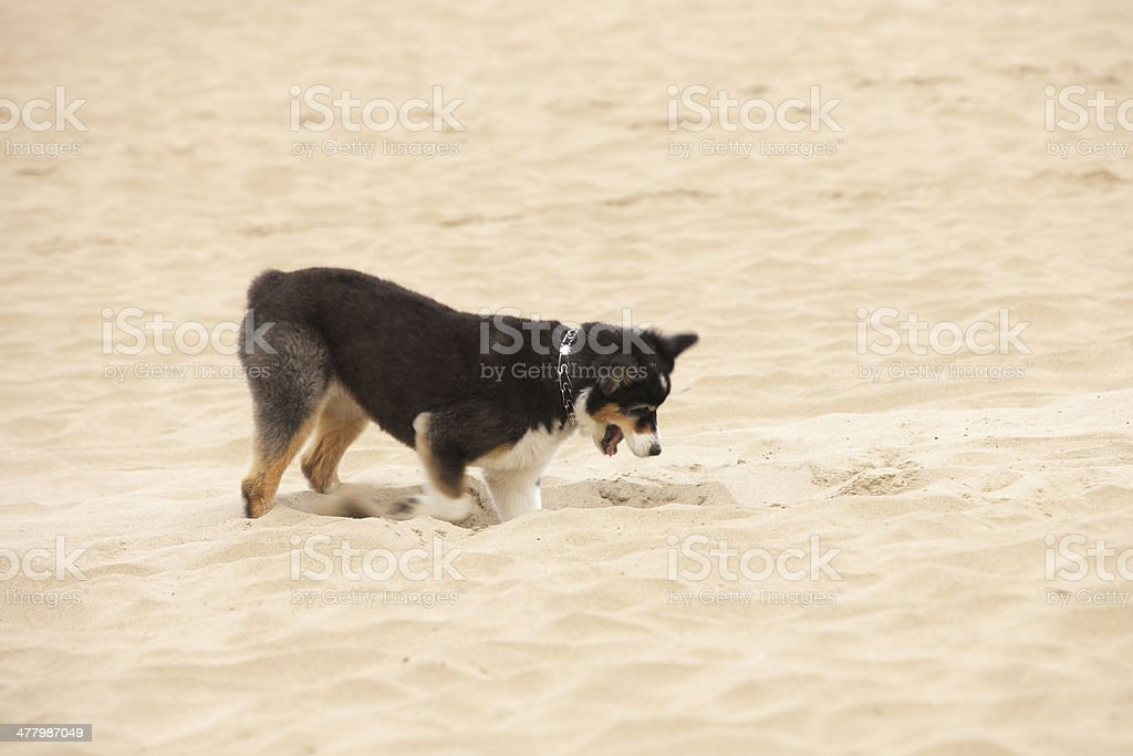 Dog Digging Sand Happy Canine Pet royalty-free stock photo