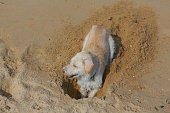 Cute yellow dog digging sand on the beach.