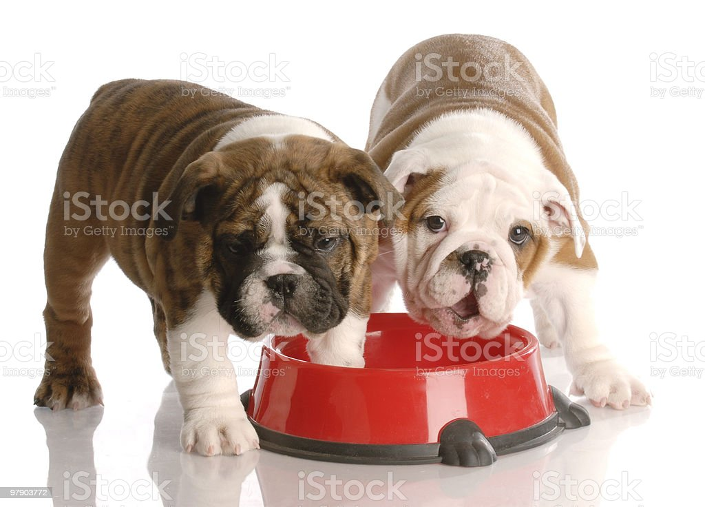 dog dinner time royalty-free stock photo