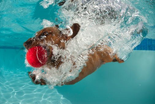 dog dives head first into pool