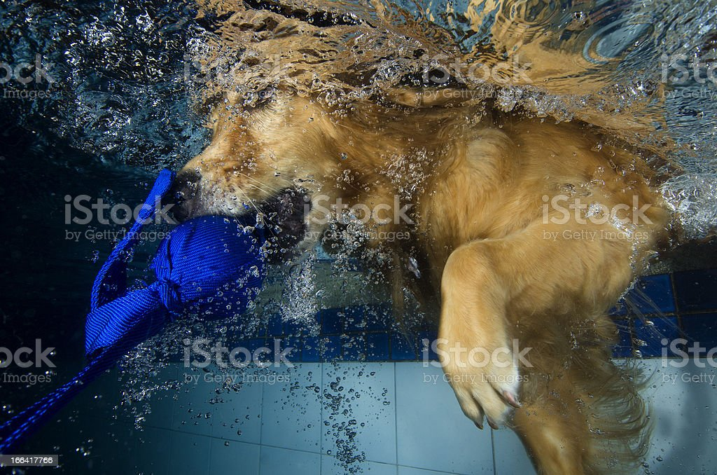 dog diving and bite a ball in the pool. royalty-free stock photo