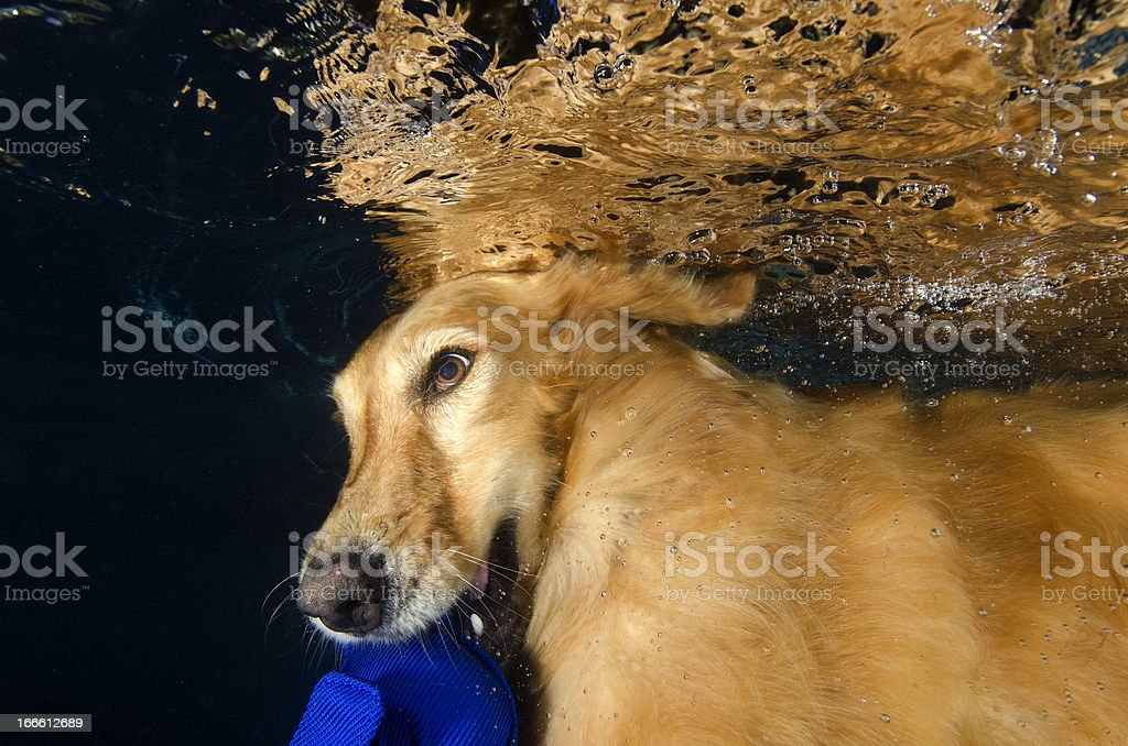 dog diving and bite a ball in the pool royalty-free stock photo