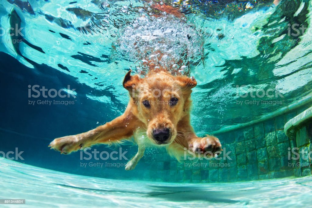 Dog diving underwater in swimming pool. stock photo