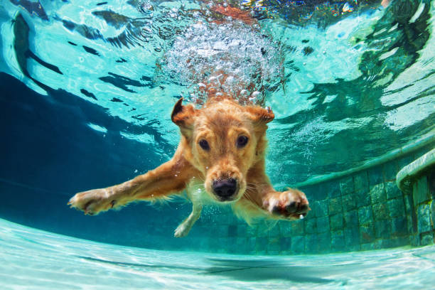 Dog diving underwater in swimming pool. Underwater funny photo of golden labrador retriever puppy in swimming pool play with fun - jumping, diving deep down. Actions, training games with family pets and popular dog breeds on summer vacation retriever stock pictures, royalty-free photos & images