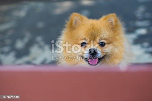 533229488 istock photo dog / dog pomeranian spitz smiling 697024516