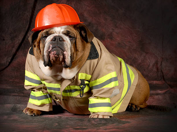 Dog dressed as a fire fighter picture id462245443?b=1&k=6&m=462245443&s=612x612&w=0&h=diuufpcj1muow7oswwbkhbhrol9mahsnrg2u44jn9bu=
