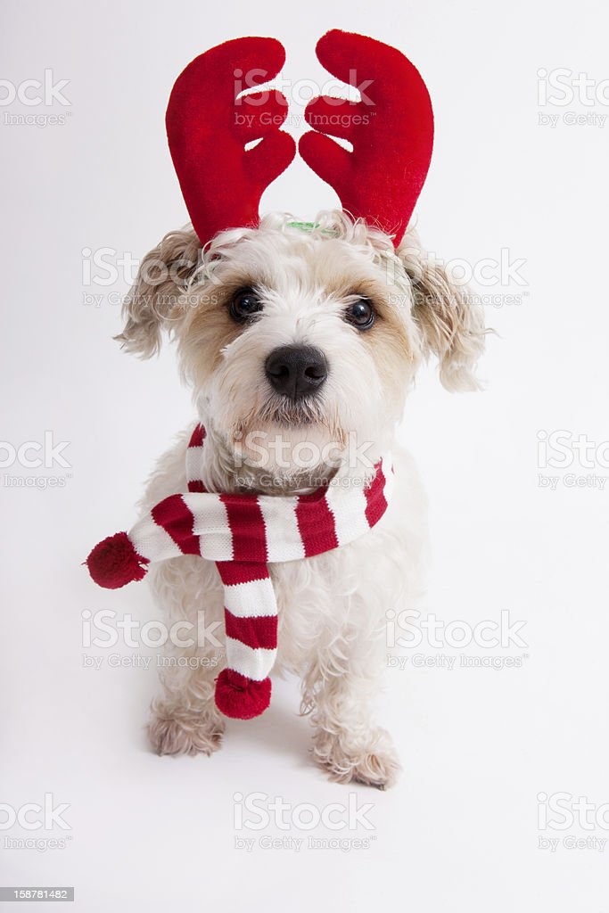 Dog dressed as a reindeer stock photo