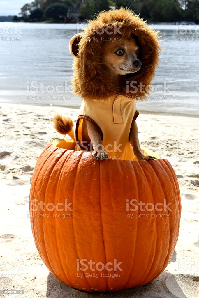 Dog dressed as lion in pumpkin stock photo