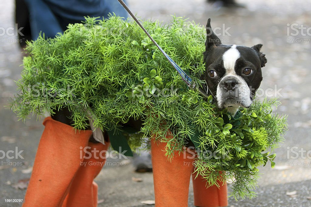 Dog Dressed In Chia Pet Costume For Halloween A dog is dressed in a chia pet costume for a Halloween dog costume contest. Bizarre Stock Photo