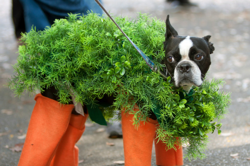 Dog Dressed In Chia Pet Costume For Halloween Stock Photo - Download Image Now