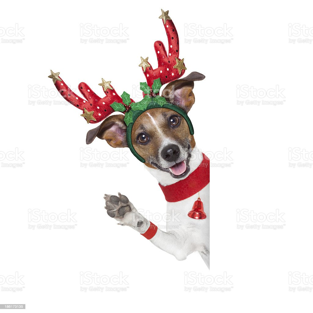 A dog dressed like a Christmas reindeer royalty-free stock photo