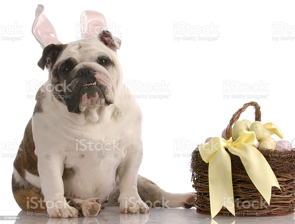 dog dressed up as easter bunny royalty-free stock photo