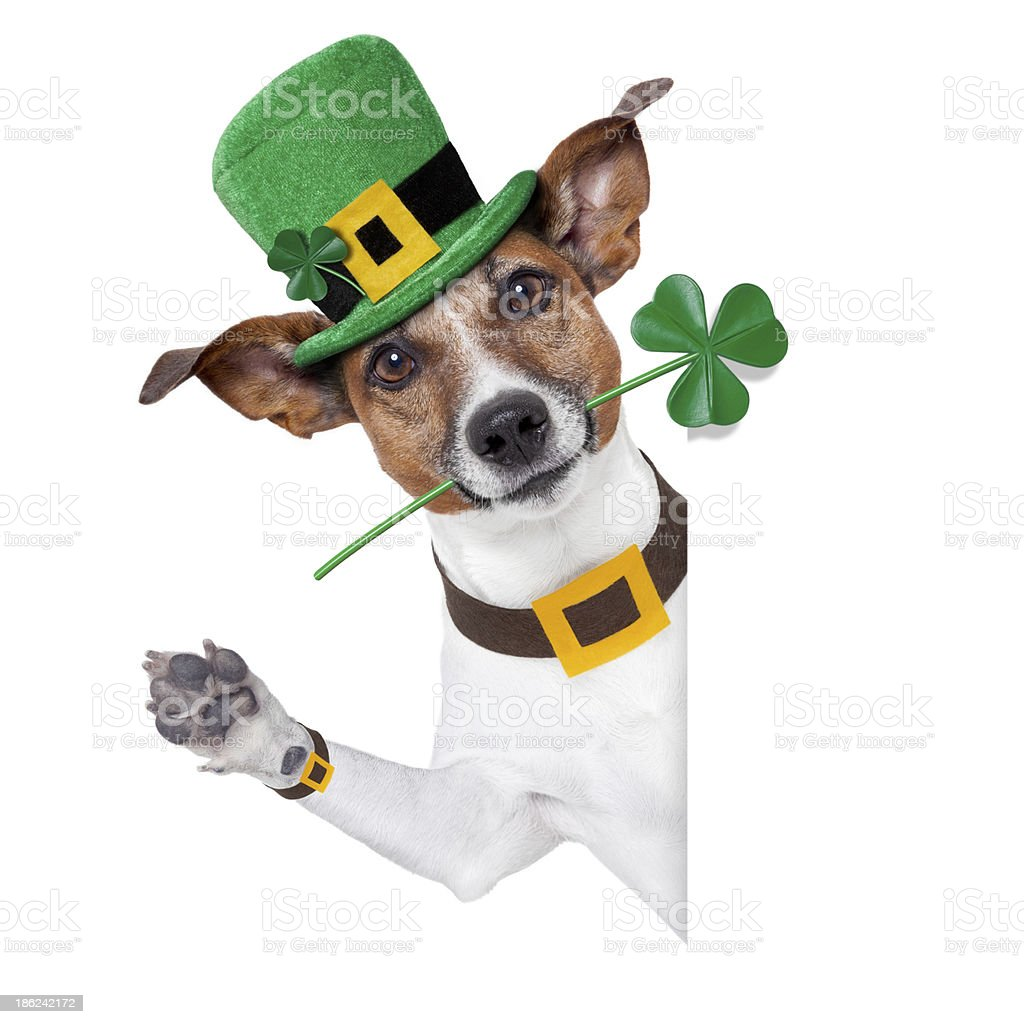 A dog dressed up for Saint Patrick's day stock photo