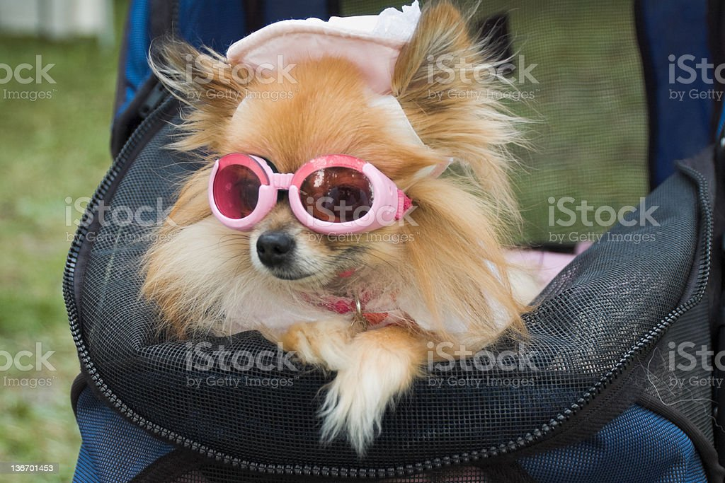 Dog Dressed Up In Hat and Sunglasses, Canine Glamour stock photo