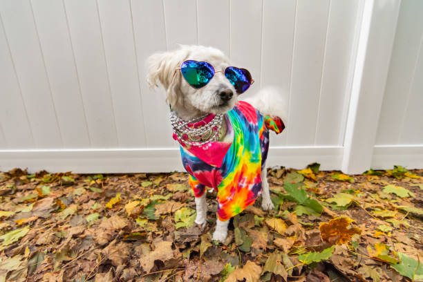 Dog dressed up like a hippie Dog dressed up like a hippie. Wearing tye dye shirt, necklace and sunglasses. dressing up stock pictures, royalty-free photos & images