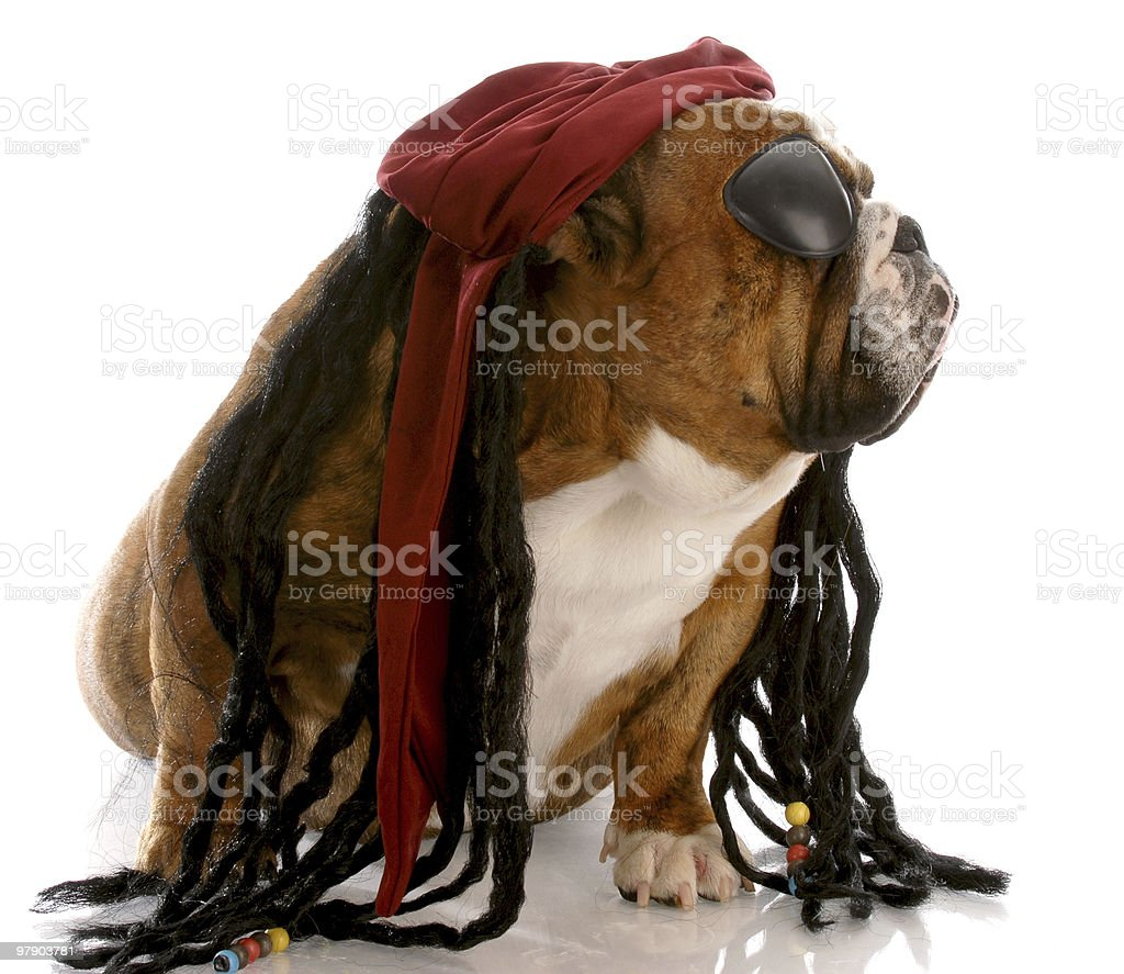 dog dressed up like a pirate royalty-free stock photo