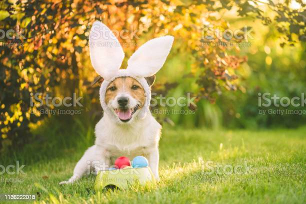 Dog dressed up with bunny ears costume for easter celebration sitting picture id1136222018?b=1&k=6&m=1136222018&s=612x612&h=khjvdu2igicun4sapetvp5i2obywbqg2yximmcisxrs=