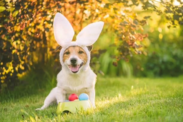 Hond verkleed met bunny oren kostuum voor Pasen viering zitten met bawl van kleurrijke beschilderde eieren op Sunny Lawn foto