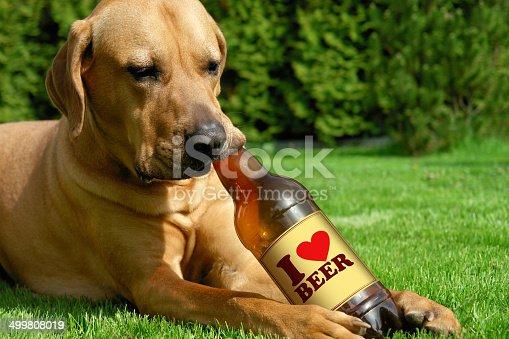 istock Dog drinking beer 499808019