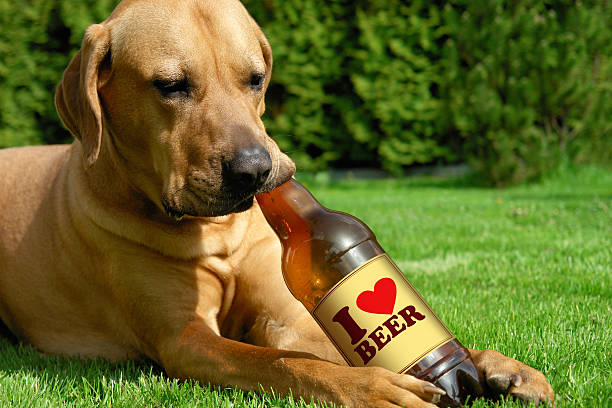 Dog drinking beer Tosa inu cute puppy lying on the grass and drinking beer fine art portrait stock pictures, royalty-free photos & images