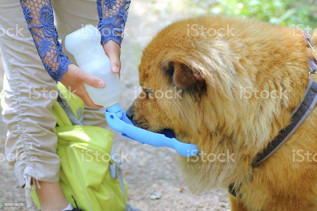Dog drinking during hiking royalty-free stock photo