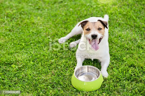 Jack Russell Terrier on grass looking at camera
