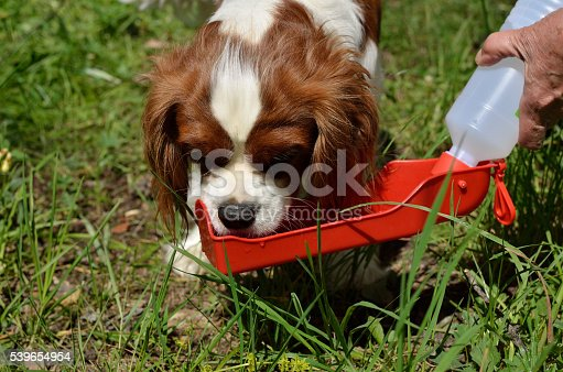 Charming Dog, Cavalier King Charles Spaniel (Blenheim) drinking water from portable water dispenser