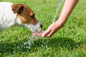 istock Dog drinking water from woman hand at hot summer day 593322566