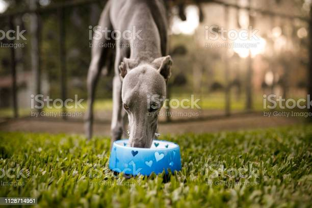 Dog drinking water picture id1128714951?b=1&k=6&m=1128714951&s=612x612&h=q1dfbwh13ywotngqihbuipetx01aftu8ta opv1k7vk=
