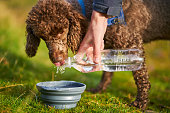 istock A dog drinking water while out on a walk 1007723474