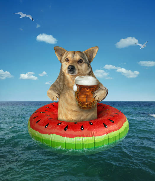 Dog drinks beer on a swim ring stock photo