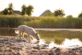 istock Dog drinks water from a lake at sunset 1182741005