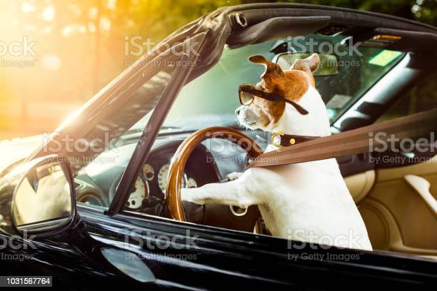 Dog drivers license driving a car picture id1031567764?b=1&k=6&m=1031567764&s=612x612&h=xabpsj1obn6abg e8rryrzyxqavucnimt3ejcvr1jdg=