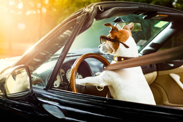 Dog drivers license driving a car picture id1031567764?b=1&k=6&m=1031567764&s=612x612&w=0&h=0fplo2iwui3edr44jpzdr6qwp phnats17hsvsb4pom=