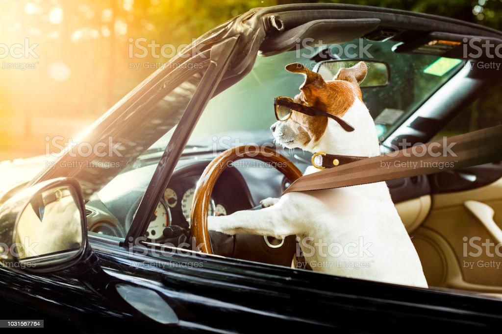dog drivers license  driving a car stock photo