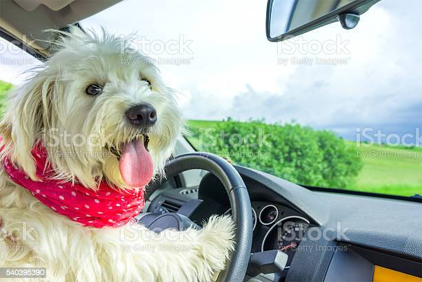 Dog driving a steering wheel in a car picture id540395390?b=1&k=6&m=540395390&s=612x612&h=fqwhmtqbir5myxtkgtjcyzivdnlbhsxb0l0 46d3xae=