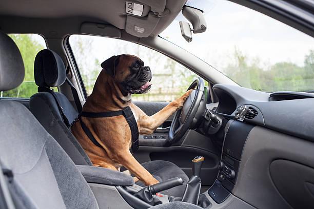 Dog driving car picture id180715337?b=1&k=6&m=180715337&s=612x612&w=0&h=7ky7zcw0nkmm4wk9pkbnkm 3lvjtmrhne2wvitso4zc=
