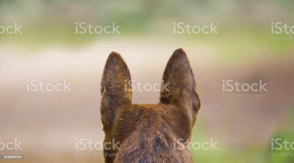 Dog ears stock photo