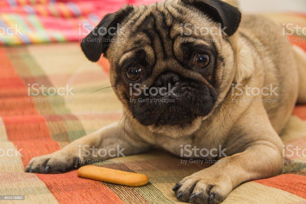 Dog eat cookie stock photo