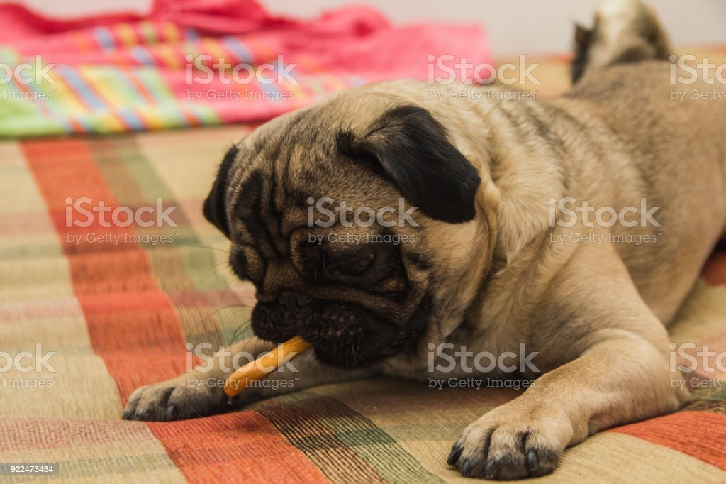 Dog eat cookie stock photo